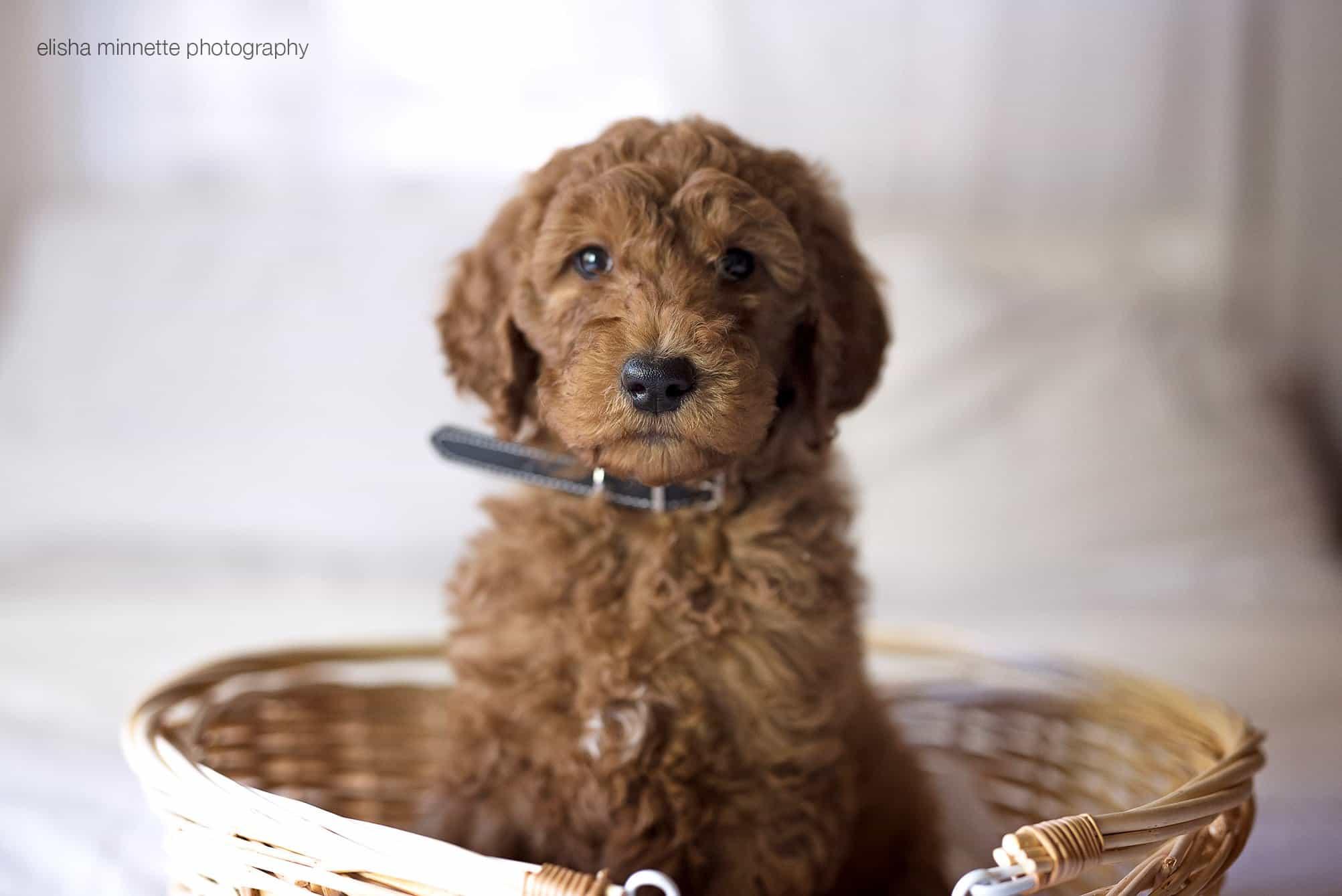 elisha-minnette-newborn-puppy-7